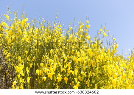 Hiniesta spring yellow flowers scientific name stock photo royalty hiniesta in spring with its yellow flowers scientific name is genista cinerea photo taken mightylinksfo Image collections