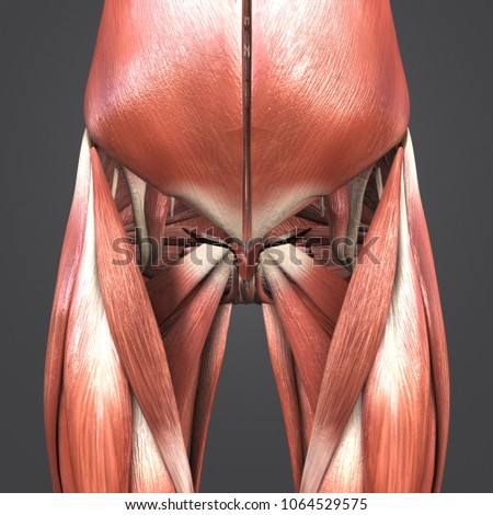 Hip Muscles Anatomy Anterior View 3 D Stock Illustration 1064529575 ...