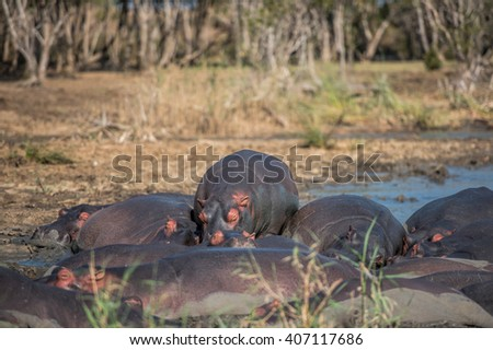 Hippo at water's edge