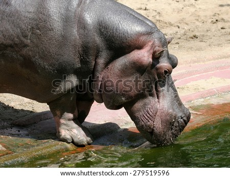 Hippo drinking some water. - stock photo