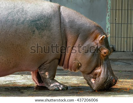 Hippo eats the rest of some carrots
