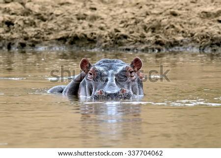 Hippo family (Hippopotamus amphibius) in lake. Kenya, Africa - stock photo