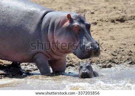 Hippo family (Hippopotamus amphibius) outside the water. Kenya, Africa - stock photo