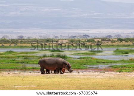Hippo family in a swamp, Amboseli, Kenya - stock photo