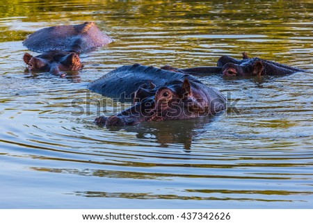 Hippo Family resting in the cool water of the lake. Sunny day in the Kruger National Park, South Africa.