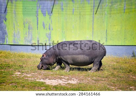 Hippo grazing in captivity at a Zoo in Spain. - stock photo