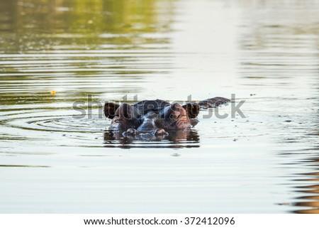 Hippo head in water - stock photo