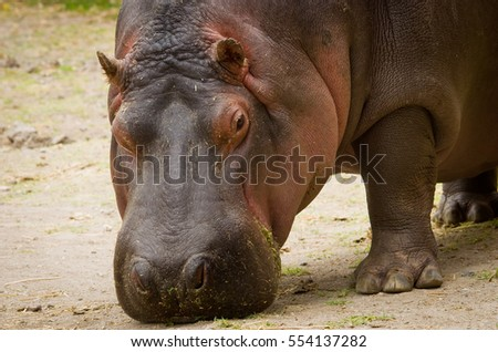 Hippo (Hippopotamus amphibius) close up