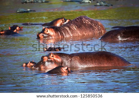 Hippo, hippopotamus in river. Safari in Serengeti, Tanzania, Africa
