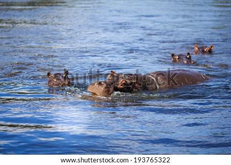 Hippo in Botswana - Chobe national park - stock photo