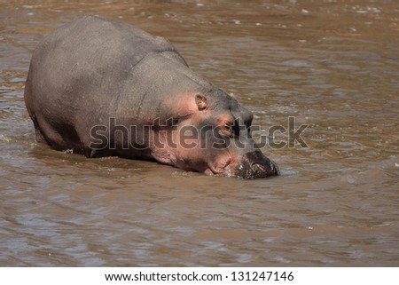 Hippo in river in Masai Mara Kenya, Africa - stock photo