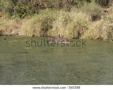 Hippo in the pool - stock photo