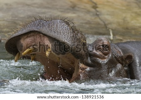 hippo in the water with its mouth open