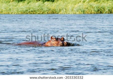 Hippo in the Zambezi River, Zambia, Africa - stock photo