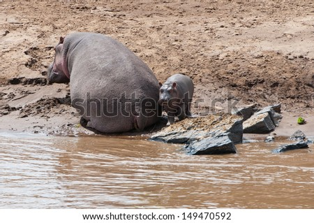 hippo mum and its cub on the river - national park masai mara in kenya - stock photo