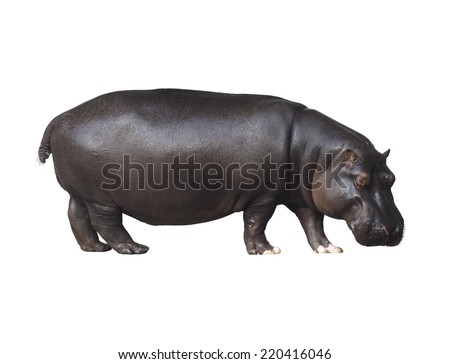 Hippo on a white background - stock photo