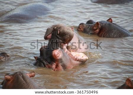 Hippo Pool in the Serengeti National Preserve - stock photo