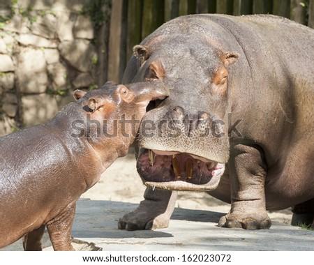 Hippo's family 2 - stock photo