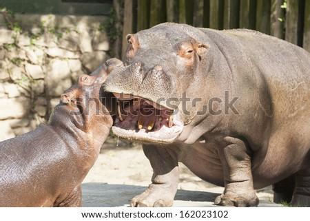 Hippo's family - stock photo