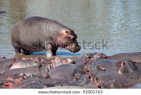 Hippo Serengeti Tanzania Africa - stock photo