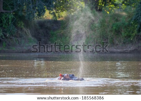 Hippo snort - stock photo