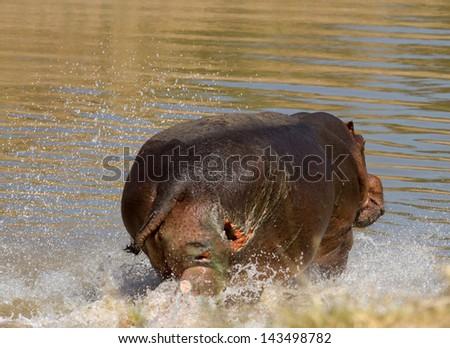 Hippo splashing in water - stock photo