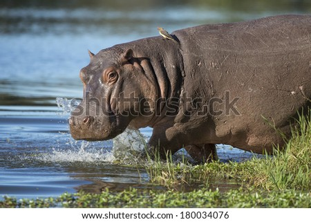 Hippo walking into water with ox peckers on his back South Africa