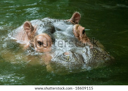 Hippo with head above water