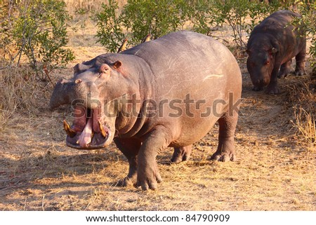 Hippo with mouth open - stock photo