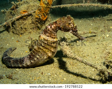 Hippocampus algiricus - west african seahorse - stock photo
