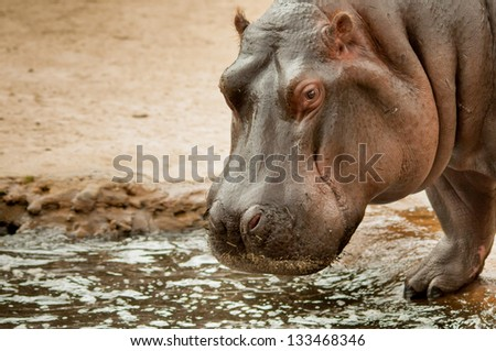 Hippopotamus by the pool - stock photo