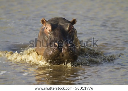 Hippopotamus charges - stock photo