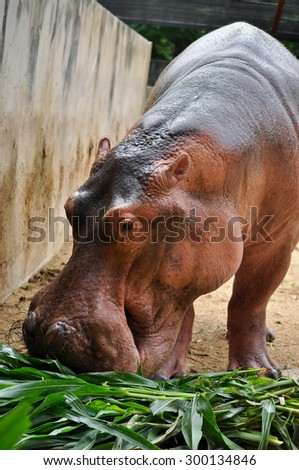 Hippopotamus do not eat while in the water and arent known to graze on aquatic plants. - stock photo