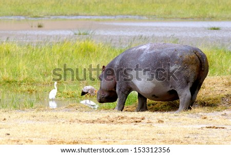 hippopotamus drinking from a river - stock photo