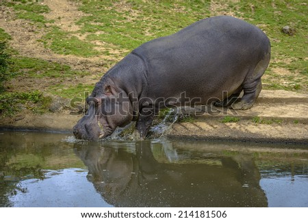 Hippopotamus entering the water to refresh itself. - stock photo