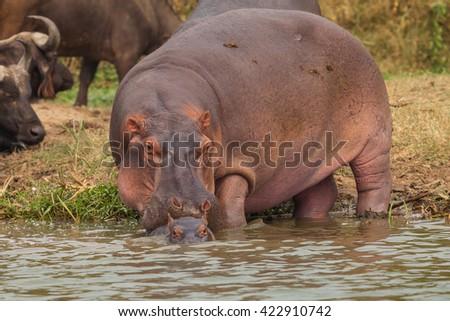 hippopotamus family in wildlife - stock photo