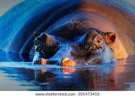 Hippopotamus (Hippopotamus amphibius) at sunset and low angle - Kruger National Park (South Africa) - stock photo