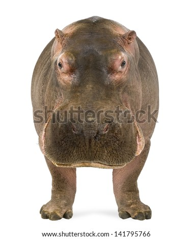 Hippopotamus - Hippopotamus amphibius, facing the camera, isolated on white - stock photo