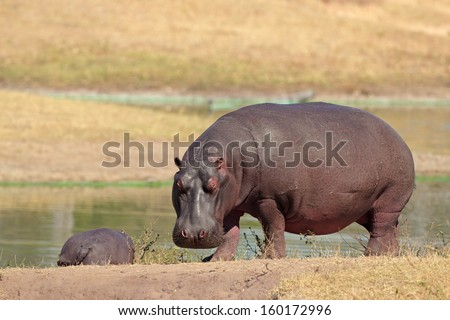 Hippopotamus (Hippopotamus amphibius) on river bank, South Africa  - stock photo