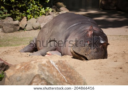 hippopotamus (Hippopotamus amphibius), South Africa - stock photo