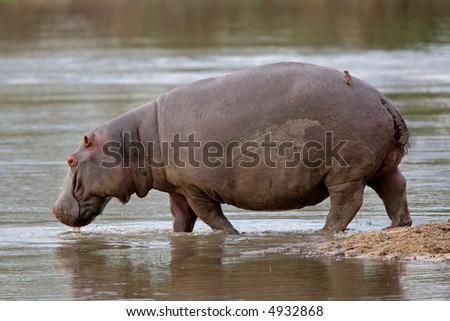 Hippopotamus (Hippopotamus amphibius) walking in shallow water, Sabie-Sand nature reserve, South Africa