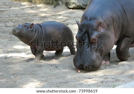 Hippopotamus (Hippopotamus amphibius) with its baby - stock photo