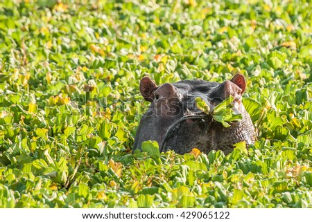 Hippopotamus in a small water hole with aquatic plants, South Luangwa National Park, Zambia - stock photo