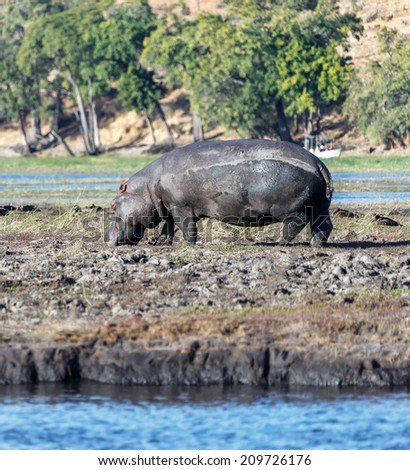 Hippopotamus in the Chobe National Park - Botswana, Africa