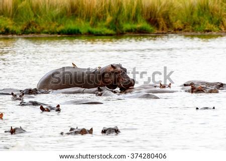 Hippopotamus, in the Moremi Game Reserve (Okavango River Delta), National Park, Botswana - stock photo