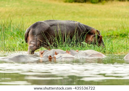 Hippopotamus in the river in Uganda, Africa