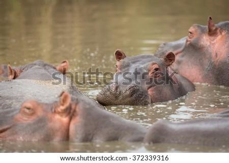 Hippopotamus in the Seronera river in the Serengeti, Tanzania - stock photo