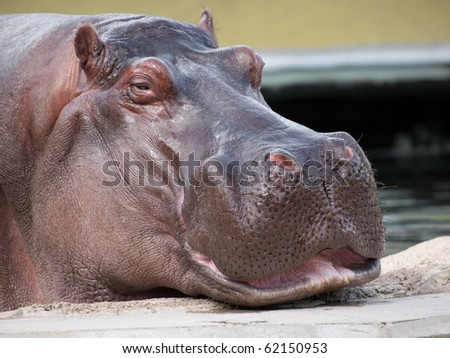 Hippopotamus in zoo - stock photo
