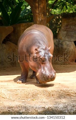 Hippopotamus is semi-aquatic, inhabiting rivers and lakes - stock photo