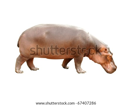 hippopotamus isolated - stock photo